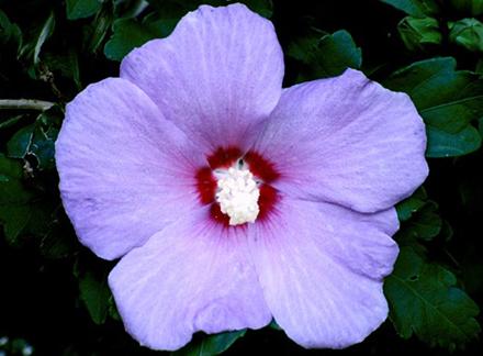 Flowering Shrubs Rave Discount Plant Center