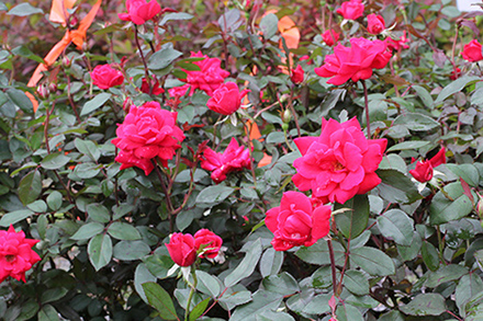 Knockout Rose 'Double Red'